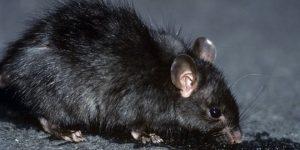 RATA NEGRA » Origen, habitat, comportamiento y alimentación