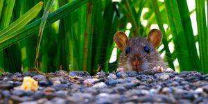 las-ratas