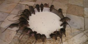 ratas-comiendo