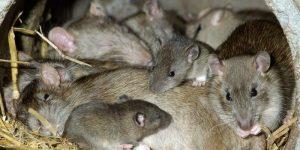 ENFERMEDADES QUE TRANSMITEN LAS RATAS » Virus y control