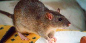PELIGROS POR PLAGAS DE RATAS EN CASA » Riesgos y recomendaciones