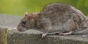 hábitat de las ratas