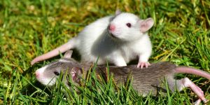 rata-blanca
